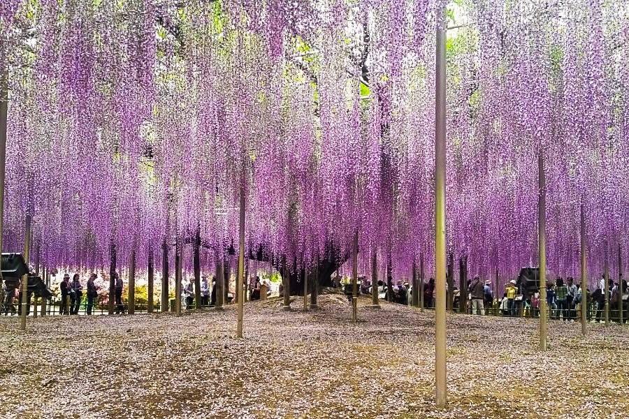 Ashikaga_SimoneAmaro