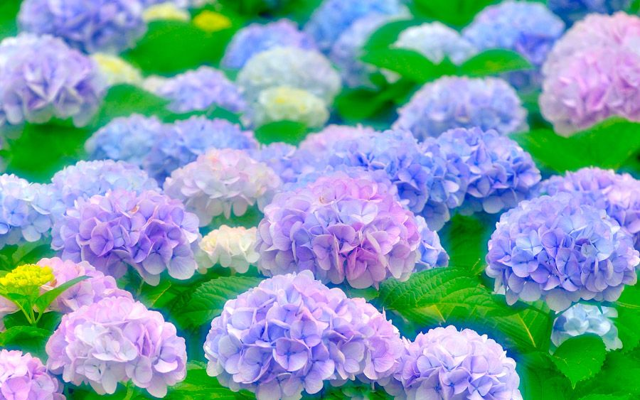Tsuyu-紫陽花